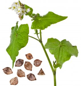 Buckwheat plant and animals