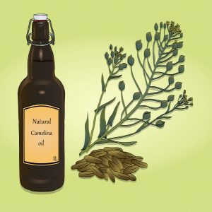 Camelina plant and oil