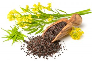 Canola plant and seeds