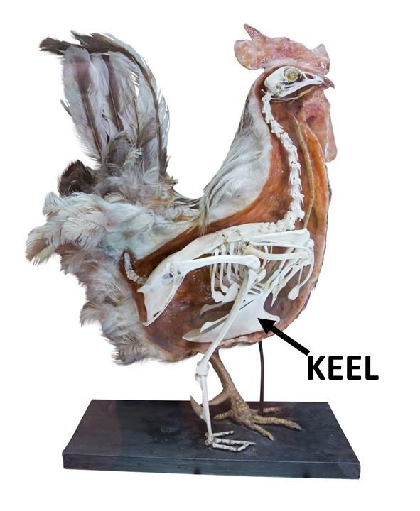 Chicken skeleton showing the keel bone