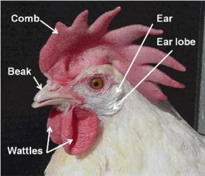 Labeled parts of a chicken's head