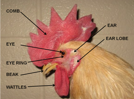 Labeled parts of a rooster's head