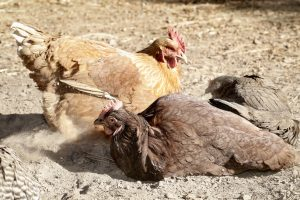 Chickens dust bathing