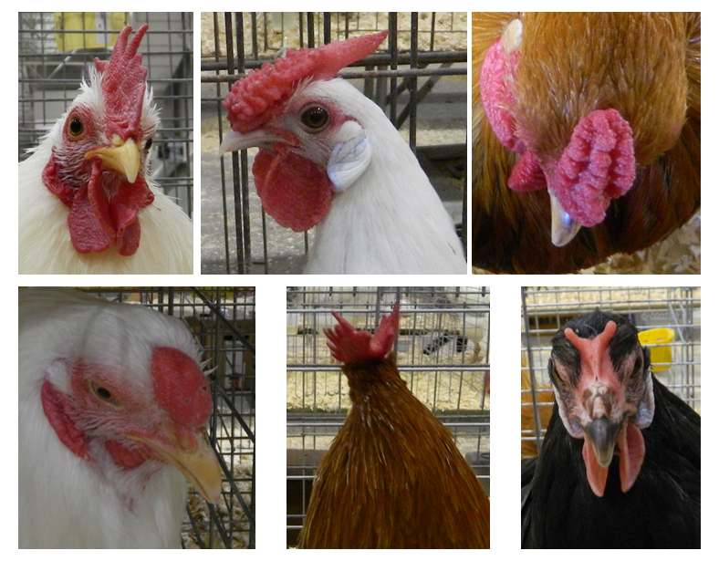 Head shots of chickens with different comb types