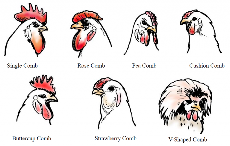 Diagram showing the different comb types for chickens