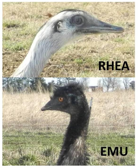 Emu and rhea heads