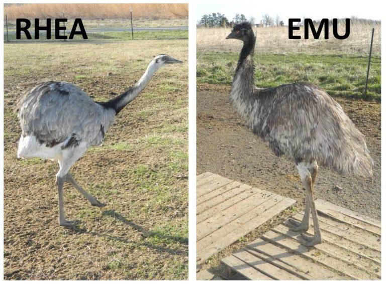 Photos of emu and rhea