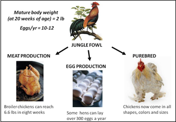 Poster showing the result of generations of genetic selection of the Red Jungle Fowl to create specific-purpose chicken breeds.