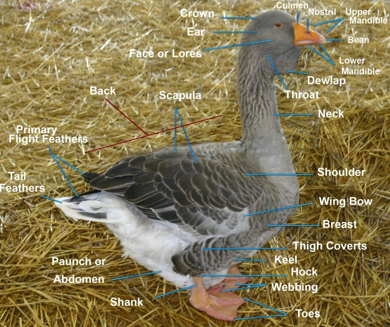 Labeled parts of a Toulouse goose