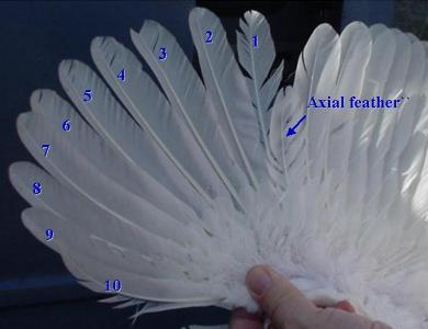 Wing feathers showing the axial feather
