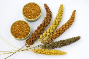 Pearl millet plant and seeds
