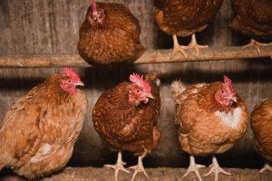 Perching hens