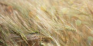 Rye plants in the field