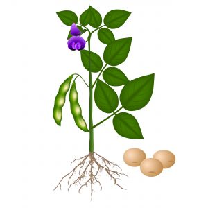 Soybean plant and seeds