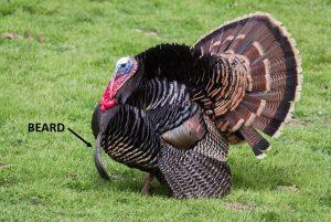 The beard of a turkey
