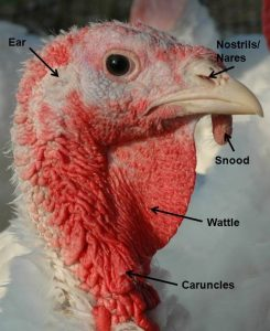Labeled parts of a turkey's head