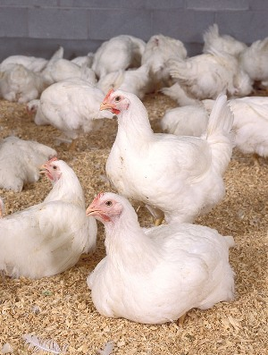 Broiler chickens