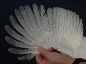 Flight feathers on the wing of a Single Comb White Leghorn chicken