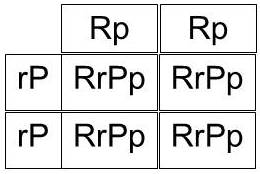 Gene combinations resulting from mating a chicken that breeds true for pea comb with one that breeds true for rose comb