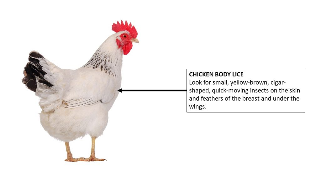 Where to look on the chicken for body lice