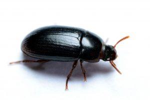 Darking beetle