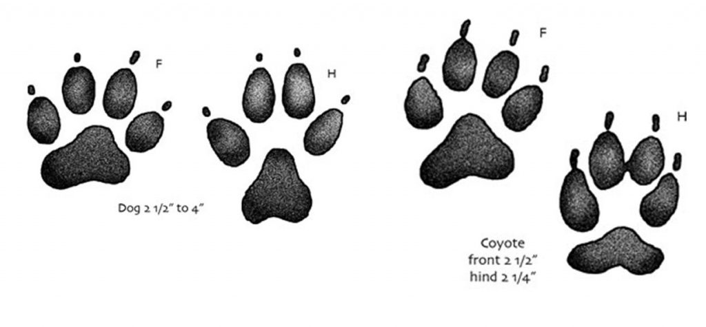 Footprints of dogs and coyotes