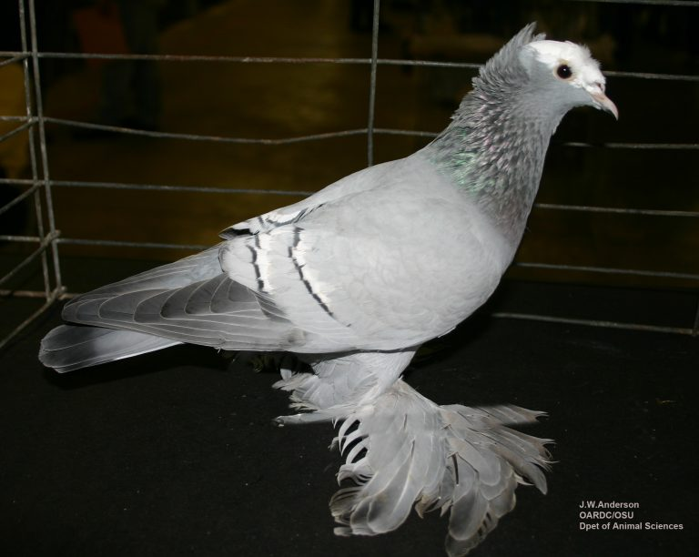 Photo of an exhibition pigeon