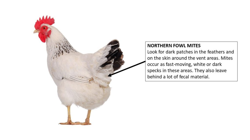 Where to look on a chicken for sticktight fleas