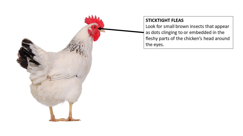 Where to look on the chicken for sticktight fleas
