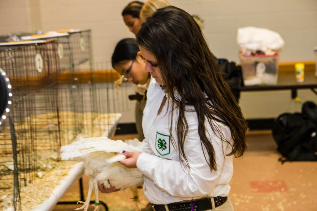 Egg production class at the national poultry judging contest