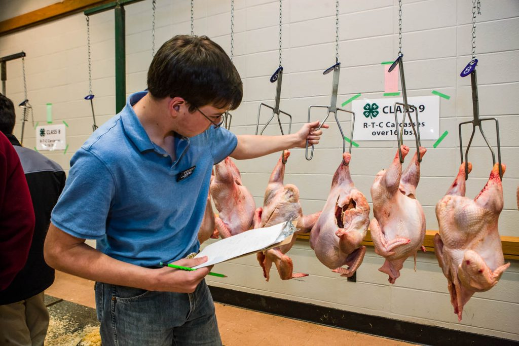 4-Her grading a class of ready-to-cook turkey carcasses at the national poultry judging contest
