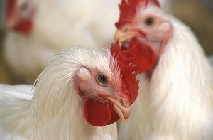 Pair of broiler breeders that producing hatching eggs used in the production of meat-type chickens
