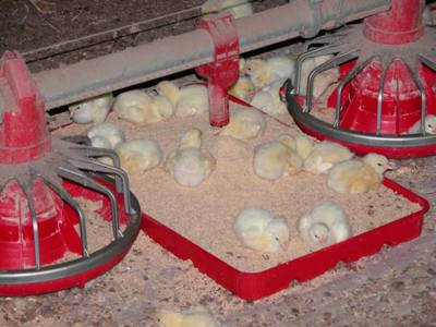 Day-old chicks in a commercial chicken meat farm. SOURCE: USDA