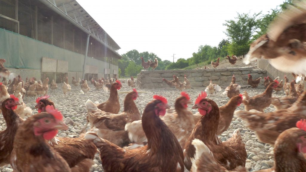 Large-scale commercial free-range egg production facilty