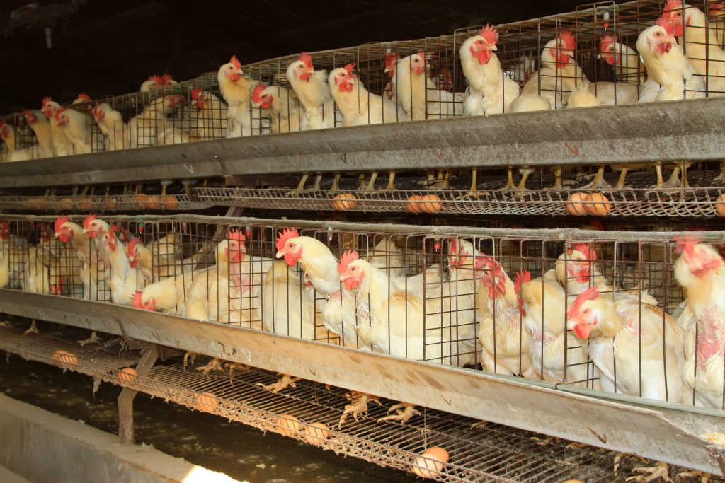 Caged egg production system
