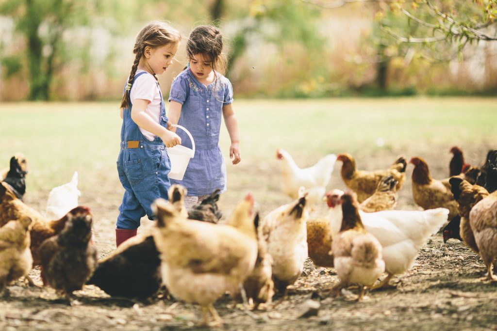 Children feeding a small flock of chickens