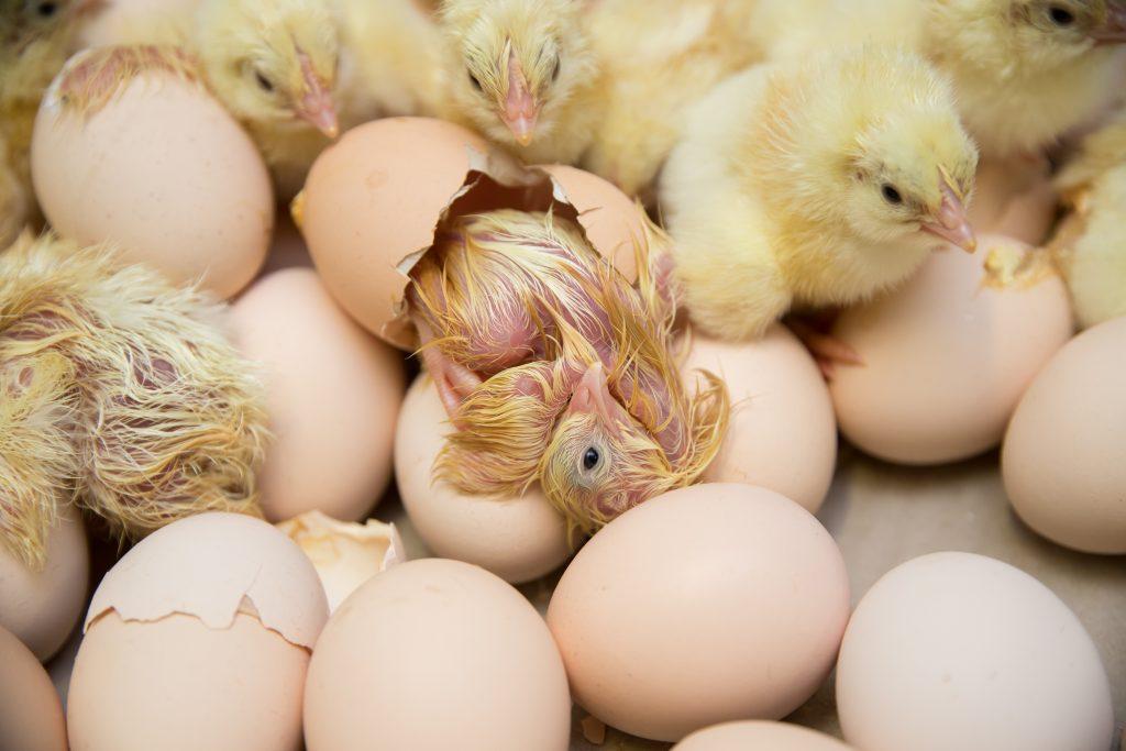 Hatching chicks still in the incubator