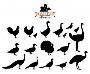 Silhouettes of different poultry species