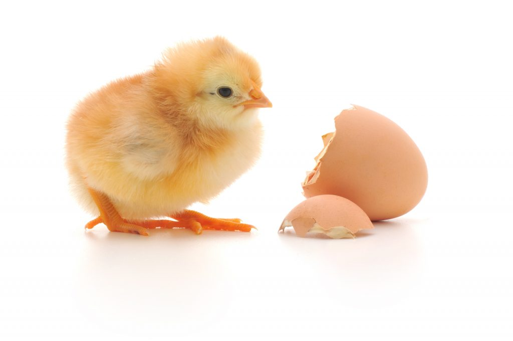 Hatched chick with empty eggshell