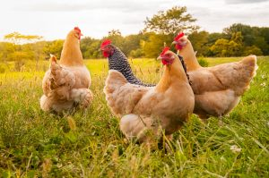 Flock of free-range chickens